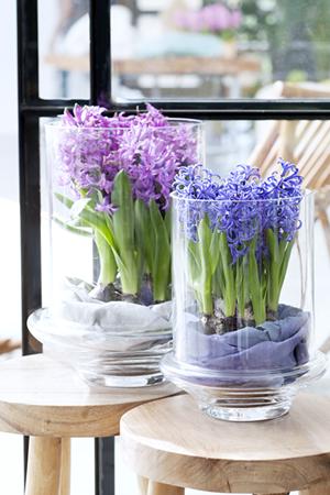 hyacint_woonplant_vd_maand4