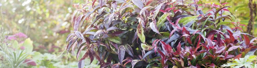 Tuinplant van de Maand oktober: Leucothoe