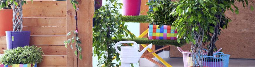 Ficus benjamina: woonplant van de maand januari